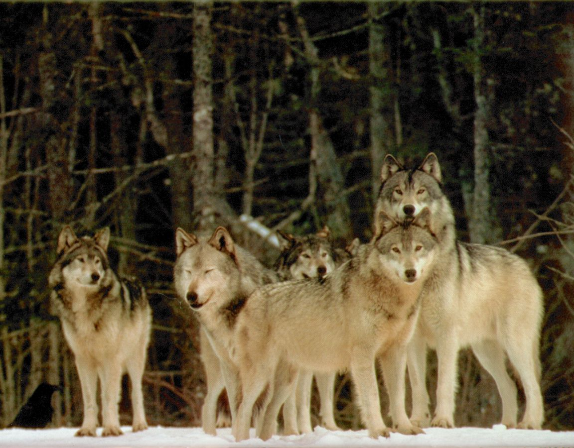 Pictures Of Wolves 109