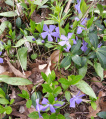 Plant - Wildflower - Periwinkle, Lesser - Vinca minor.jpg