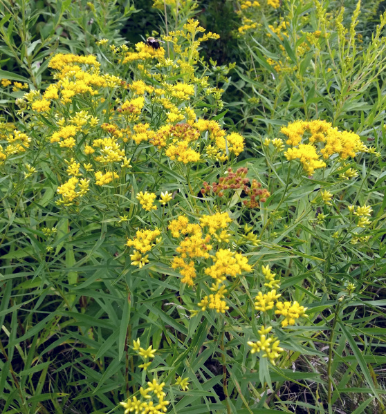 File:Plant - Wildflower - Goldenrod (Stubby) - Solidago.jpg
