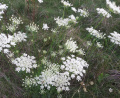Plant - Wildflower - Queen Anne's Lace - Daucus carota.jpg