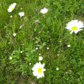 Plant - Wildflower - Daisy, Ox-eye - Chrysanthemum leucanthemum.jpg