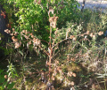 Plant - Wildflower - Burdock, Greater - Arctium lappa.jpg