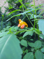 Plant - Wildflower - Jewelweed, Orange - Impatiens capensis.jpg