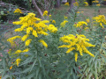Plant - Wildflower - Goldenrod, Late - Solidago altissima.jpg